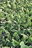 2er-Set - winterhart! - Orontium aquaticum - Goldkeule, gelb - Wasserpflanzen Wolff