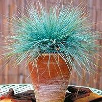 ora 100pcs Blu Festuca Grass Seeds - (Festuca glauca) perenni rustiche ornamentali belle semi di erba per fioriere vaso di fiori