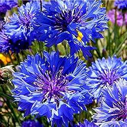 """Centaurea cyanus - Blaue Kornblume """"Blue Ball"""" - 250 Samen"""
