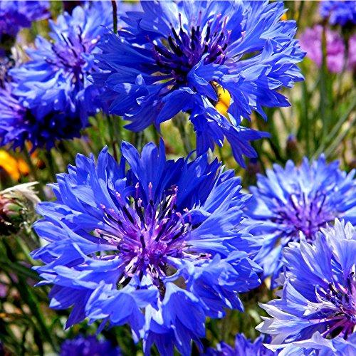 Centaurea cyanus - Blaue Kornblume