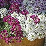 Alyssum sät jährliche Blumen-Schnee-Teppich-Samen-Garten-Inneneinrichtung
