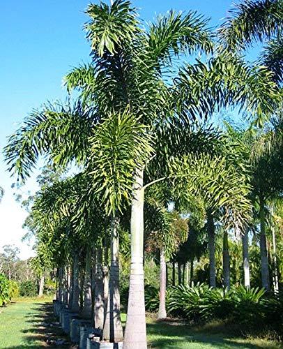 PLAT FIRM GERMINATIONSAMEN: UNCLE CHAN * 5 SAED WODYETIA BIFURCATA FOXTAIL PALM FRISCH BEREIT SOW VIABLE