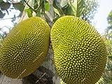 Thailand Importiert Durian Fruit Samen Golden Kissen Durian Fruit 5x