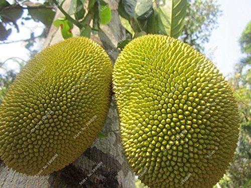SVI Sachet de 5 graines de fruits Durian