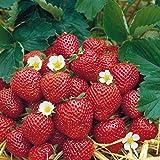 Grüner Garten Shop Erdbeere Sorte Korona, Erdbeerpflanze, mittelfrühe Sorte mit gutem Aroma, im 10-er Tray