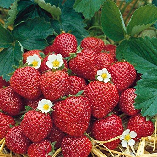 Fragaria Weisse Ananas-Erdbeere Ausgefallene Sorte Set mit 3 Pflanzen