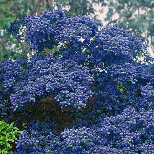 1-x-ceanothus-concha-evergreen-shrub-hardy-garden-plant-in-pot