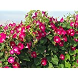 Seedscare Morning Glory Red, 30+ Seeds