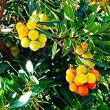 Future Exotics Westlicher Erdbeerbaum Arbutus unedo...