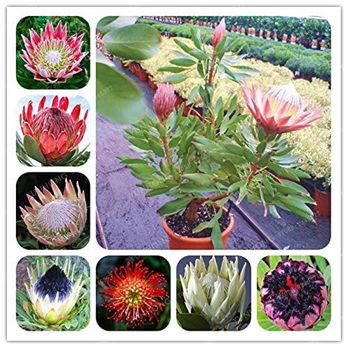 Shoopy Star 13: 30 Pcs/Paquet Bouteille Palmier graines vivaces Easy Grow Bonsaï Pots Tropical