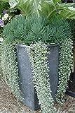 La nueva llegada del jardín de la planta 40 Semillas Semillas Marrubium marrubio blanco flor de la hierba