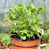 Stevia (Stevia rebaudiana) - Adäquater Ersatz für Rohrzucker zum Süßen von Tee, Desserts und Milchprodukten