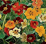 SeeKay Nasturtium - Jewel of Africa - Variegated leaf - Tropaeolum - 100 seeds Annual