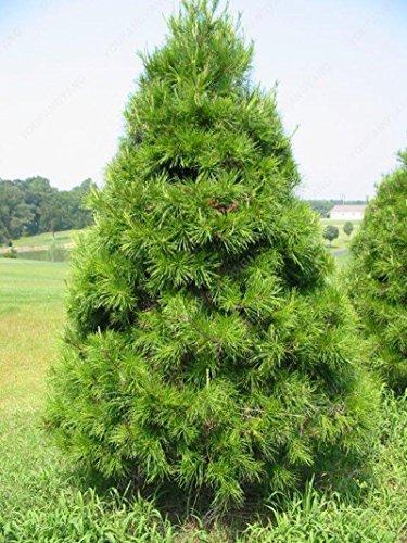 50 graines Arbre à feuilles persistantes Rare épinette bleue du Colorado Graines PICEA PUNGENS GLAUCA de bonnes pour la culture en pot planteurs de pot de fleurs