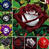 Vistaric 100 unids/bolsa semillas color de rosa, flor rosa negra con borde blanco, semillas de flores de bonsái para plantas
