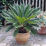Cycas revoluta (Sago Palm) 14cm pot