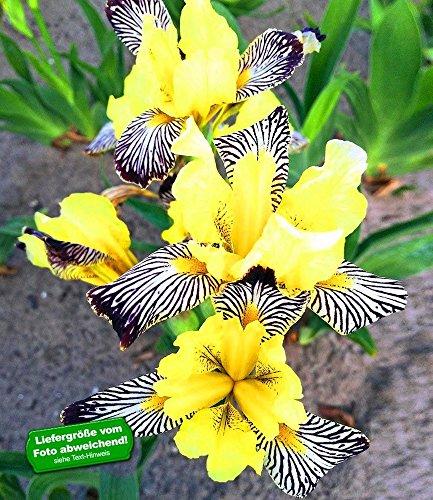 Zebra Iris (BALDUR-Garten Iris
