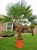 Trachycarpus Fortunei Hybrid Hanfpalme ca.160 cm Höhe aus Deutscher Freilandzucht. Frosthart bis - 19 Grad