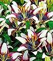 """BALDUR-Garten Lilie """"Curitiba®"""",3 Knollen von Baldur-Garten auf Du und dein Garten"""