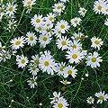 lichtnelke - Hohe Margerite (Chrysanthemum leucanthemum ' Maikönigin ') von Lichtnelke Pflanzenversand auf Du und dein Garten