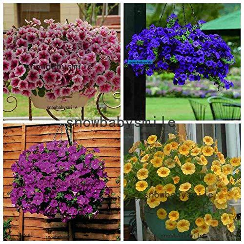 Portal Cool 4 Rose Trailing Petunia 500 S: 500 Petunia Samen hängen Petunia Hybrida Blume Blau Lila Multicolor hängen - Petunia Trailing