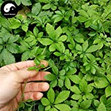 PLAT FIRM KEIM SEEDS: 100pcs: Kaufen Echt Gynostemma Samen Pflanze Kräuter Jiaogulan wachsen Gynostemma pentaphyllum