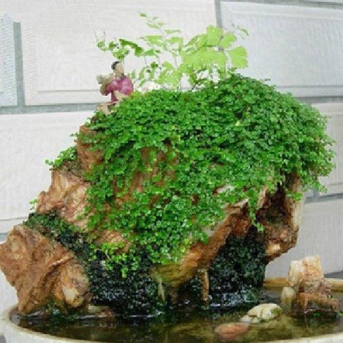mamaison007-plante-feuillage-rocaille-herbe-graines-bonsai-decoration