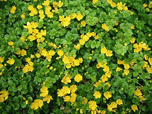 1 x Nummularia lysimachia (Bodendecker/Stauden) Pfennigkraut