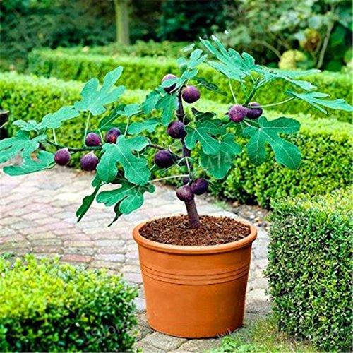 Ncient 50 Semi Sementi di Fico Tropicale Ficus Carica Semi di Frutta Rari per Orto Giardino Balcone Interni ed Esterni