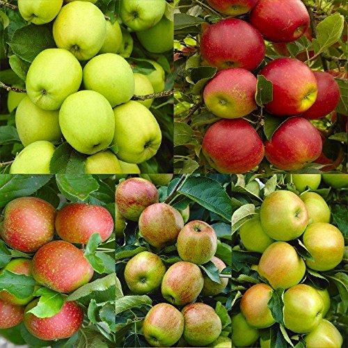 apple-tree-multi-variety-fruit-tree-apple-5-varieties-on-one-tree