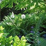 lichtnelke - Riesenlauch Kugellauch Lauch ( Allium giganteum