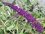 """5 Stück Buddleja davidii """"Black Knight"""" * (Sommerflieder """"Black Knight""""), Blütenpflanzen, Blütengehölz, * Topf 7,5 Liter 100-125 cm"""