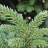 Picea orientalis - Picea del Asia menor - Maceta de 10Litros