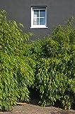Immergrüner Schirmbambus