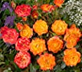 'Little Miss Sunshine' (R), Zwergrose in A-Qualität, Wurzelware von Rosen-Union auf Du und dein Garten