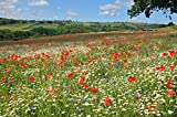 Native English Grass & Wildflower Meadow mix 400 grams. MeadowMania. Covers up to 100 square metres