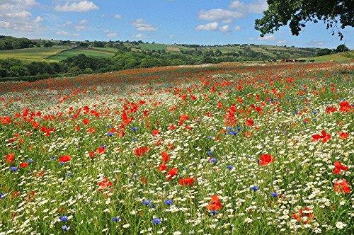 Gras & Wildblumensamen. Traditionelle Wiesenmischung 80 Gramm. MeadowMania Heimische Samen. Bedeckt bis zu 20 m². (Einheimischen Gräser)