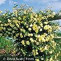Öfterblühende Ramblerrose - 'Malvern Hills®' von Garten Schlüter - Du und dein Garten
