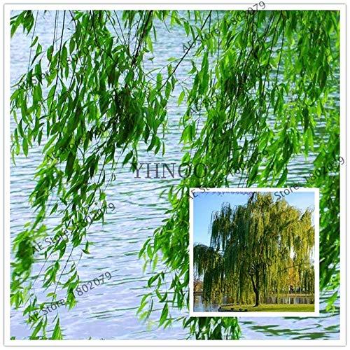 Bonsai-willow Tree (Pinkdose Topf Willow Tree Bonsai 100PCS / pack Pflanze, Salix babylonica, grüner Baumgarten)