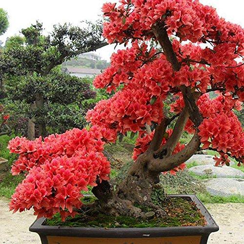 Rhododendron 10 Samen Rhododendron Simsii Samen – Bonsai Pflanzensamen für Gartenbau