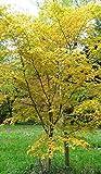 Japanischer Fächerahorn Acer palmatum Katsura ca.60cm Frosthart