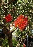 TROPICA - Starrer Großblütiger Zylinderputzer (Callistemon rigidus) - 200 Samen