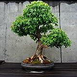 Dreispitz Ahorn ' kleine Blätter' 10 Samen Acer Burgeranum,perfekt für Bonsai (Trident)