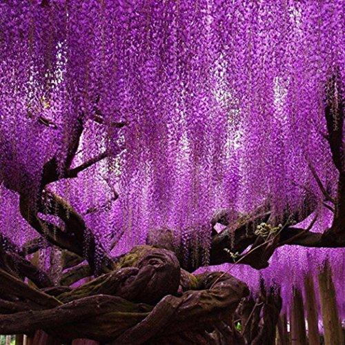 Qulista Samenhaus - Japan 10pcs Glyzinie Kollektion blau/weiß/rosa/rot duftend Wisteria Kletterpflanze Blumensamen mehrjährig winterhart für Bauerngarten