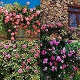 Keland Garten - Kletterrosen Samen winterhart mehrjährig 100pcs Rambler-Rose Rank- und Kletterpflanzen für Wände, Zäune, Fasaden,Rosenbögen und Pergolen (rosa 3)