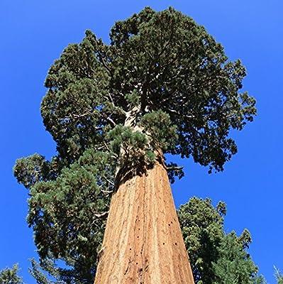 Urwelt Mammutbaum - Metasequoia glyptostroboides - Samen von tropical.garden - Du und dein Garten