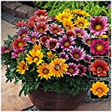 Flower Seeds Gazania-Sunshine Hybrid Mixed Flower Seeds For Home Garden-20 Seeds by Creative Farmer