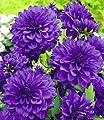 """BALDUR-Garten Dahlie """"Blue Bell®"""",2 Stück Schmuckdahlie Dahlia von Baldur-Garten - Du und dein Garten"""