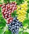 BALDUR-Garten Kernlose Tafel-Trauben-Kollektion Weinreben Sortiment kernlos, 3 Pflanzen New York, Vanessa, Venus von Baldur-Garten - Du und dein Garten