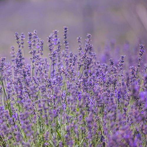 Doubleer 200 PCS Lavande Herb Graines Accueil Balcon Jardin Aromatique Plantes Graines De Fleurs